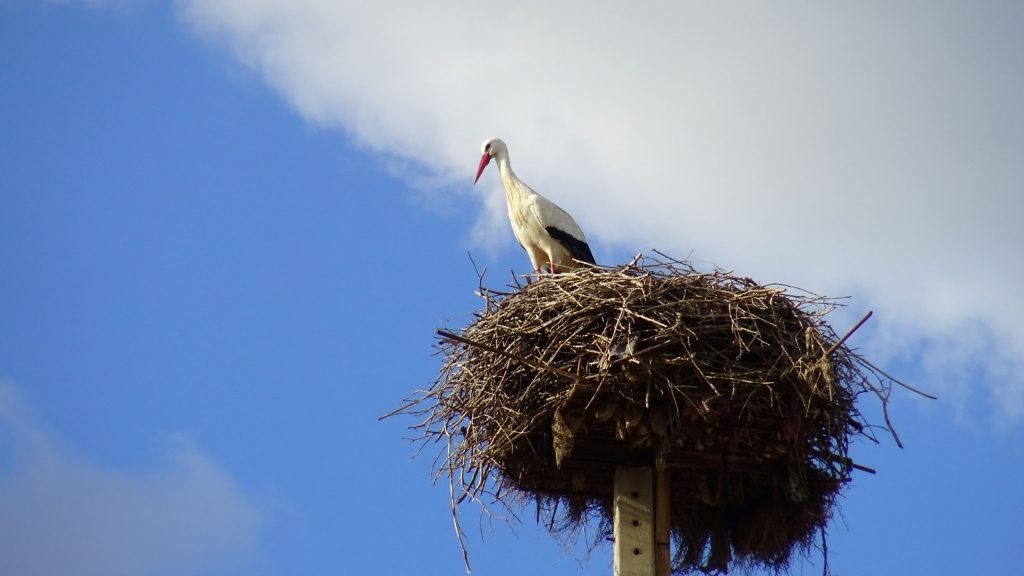 A stork in the nest.